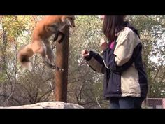 Rescued fox talks and jumps for joy (VIDEO) » DogHeirs | Where Dogs Are Family « Keywords: fox, rescued fox, talking, jumping