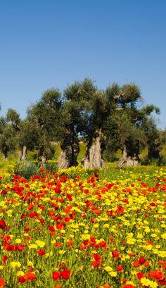 the PUGLIA REGION Primavera nella Campagna Salentina book on line: guidaturistic@gmail.com  by VITO MAUROGIOVANNI TOUR GUIDE iternational infotel 00393498553678