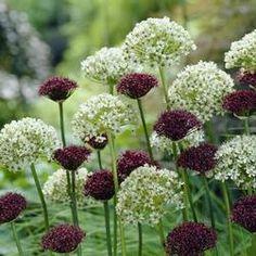 Allium Atropurpureum / Nigrum
