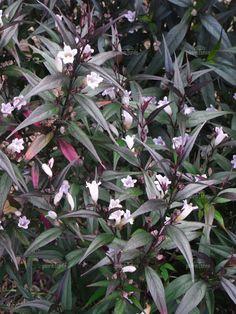 plants - S - Strobilanthes -