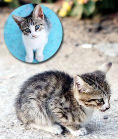 Aegean cat Kitten
