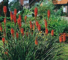 Fackellilie 'Nancys Red'