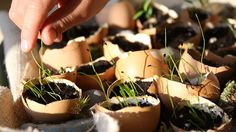Want ideas on how to use eggshells in the garden? Help yourself to these cost-cutting ideas on how to use eggshells in the garden which I practice myself!