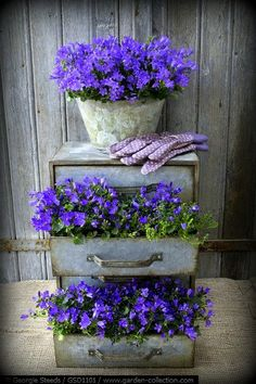 LOVE this VINTAGE metal chest of drawers planted with Campanula 'Ocean' & metal container planted with Campanula 'Monique'! Very PRETTY