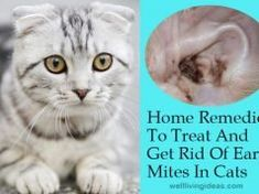 home remedies for ear aches vicks - home remedies for ear aches ; home remedies for ear aches for kids ; home remedies for ear aches for babies ; home remedies for ear aches vicks ; home remedies for ear aches homemade Puppy Care, Pet Care, Clean Cat Ears, Labrador Puppy Training, Labrador Puppies, Retriever Puppies, Labrador Retrievers, Dog Training, Cat Ear Mites
