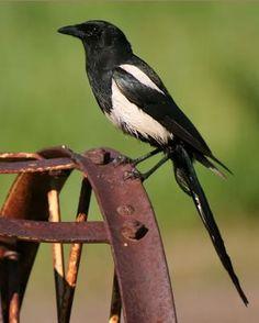 Black-billed Magpie - Whatbird.com