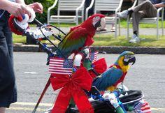 My Macaws in the of July parade in Seaside Oregon, they were the hit :) ♥♥ Seaside Oregon, 4th Of July Parade, Wild Animals, Parrot, Bird, Pets, Parrot Bird, Birds, Wild Ones