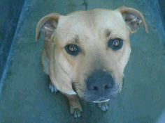 LETS SAVE THEM! URGENT KILL LISTED! 8 PIT BULLS E LISTED PTS   #PIBBLELOVERS   Orange CA    https://www.facebook.com/pages/Beau-Madison-Rescue-Network/171614246347603… pic.twitter.com/A8rS515g59
