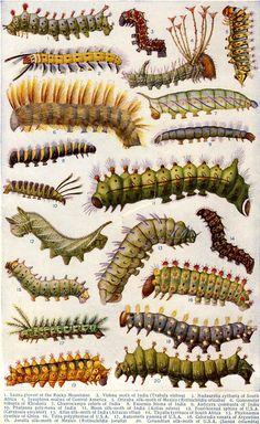 Moth Caterpillars.  Arthur Mee, ed. The Children's Encyclopedia, vol. 9 (London: The Educational Book Company, no date).