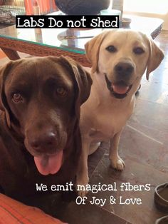 ...call it what you will, but Labrador Retrievers still shed!