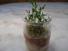 faire pousser des lentilles dans du coton  #jardinage #coton #lentille #enfant #noel #caboucadin