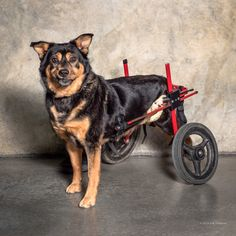 Two good news stories about amazing handicapped pets. Newman is a old dog who inspired a charity. Paralyzed Bandit was homeless for 3 years.