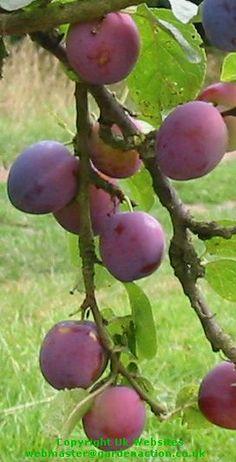 """Czar"" plum tree. http://www.orangepippin.com/plums/czar"