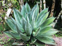Herb Garden Plants - Bulbinella - Better Than Aloe Vera?