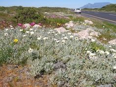 September is the season of flower shows in the country, such as the Darling Wild Flower show, the Hopefield, Caledon and Clanwilliam shows. Most of these pictures are taken near Darling during the. Lawns, Flower Show, Wild Flowers, Cape, September, Country Roads, Seasons, Pictures, Mantle
