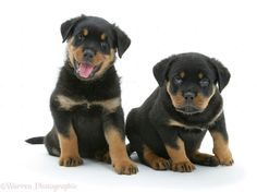 Photograph of Two Rottweiler pups. Rights managed white background Dogs image. German Rottweiler Puppies, Rottweiler Love, Baby Puppies, Softies, Best Dogs, Labrador Retriever, Rottweilers, Period, Image