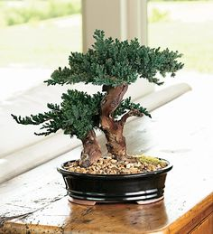 Maintenance-Free Evergreen Bonsai Tree Gardens