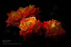 ROSES-golden 金玫瑰 by zyichun2011. @go4fotos