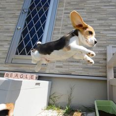 Beagle is one of the most popular dog breeds in the world. So if you`re a true lover of this breed and own a Beagle puppy, here is the list of 125 Beagle dog names for any taste! Cute Beagles, Cute Puppies, Cute Dogs, Dogs And Puppies, Doggies, The Animals, Cute Baby Animals, Funny Animals, Baby Beagle