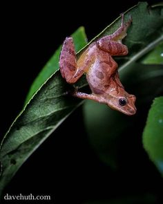Chorus Frog (genus Pseudacris)