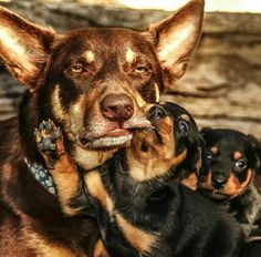 I'm sure all mums have felt like this at some time or another. Australian Shepherds, Australian Sheep Dogs, Aussie Dogs, Cute Puppies, Cute Dogs, Dogs And Puppies, Doggies, West Highland Terrier, Scottish Terrier