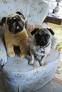 Pug with stuffed animal pug. From http://animalswithstuffedanimals.com