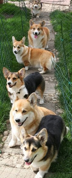 It's a pack of corgis!