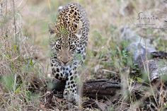 A young Male Leopard walks strait toward us through thick bush next to the Sand River. Leopard are the ultimate ambush predator, the thick vegetation complements this skill perfectly. (Dylan Brandt @ Singita Sabi Sand)