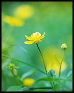 #kesä #kukkia #niitty #suomi #finland #bokeh #valokuvaus #photography #nature #luonto #simplicity #yellow #green