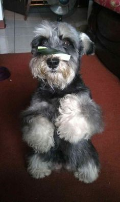 Post | A community of Schnauzer lovers!