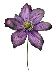 """By Rachel Levy """"Clèmatis """"the president"""" - # Botanical Art, Botanical Illustration, Watercolor Flowers, Watercolor Art, Billy Kidd, Colored Pencil Artwork, Floral Drawing, Floral Artwork, Tatoo"""