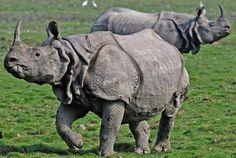 Rhinocéros de Java (Rhinoceros sondaicus) On compte 5 espèces de rhinocéros dans le monde : les rhinocéros de Java, d'Inde et de Sumatra (Asie), et les rhinocéros blanc et noir (Afrique) Plus rare de tous les rhinocéros, le rhinocéros de Java est classé depuis 2009 en danger critique d'extinction sur la Liste Rouge de l'UICN avec seulement 2 populations composées de 60 rhinos encore existantes à l'état sauvage en Indonésie et au Vietnam !  En effet le rhinocéros de Java a été massacré à…