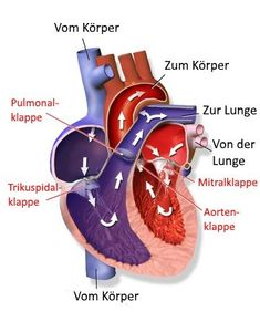 El sistema cardiovascular proporciona a los órganos y tejidos suficiente oxígeno . - El sistema cardiovascular suministra a los órganos y tejidos suficiente oxígeno y elimina los mate - The Human Body, Body Scale, Body To Body, Human Body Anatomy, Medical Pictures, Human Body Systems, Systems Biology, Anatomy And Physiology, Learning