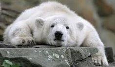 Bildergebnis für knut polar bear