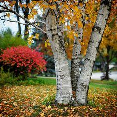 Birch Tree in Fall.....beautiful.