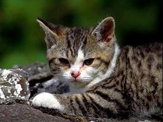 Temperament and Personality of American Wirehair Cat click the picture to read