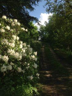 L'atmosfera creata dalle azalee in fiore nel vialetto che porta alla nostra cantina.