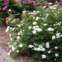 Easy Elegance® Snowdrift Rose | NatureHills.com