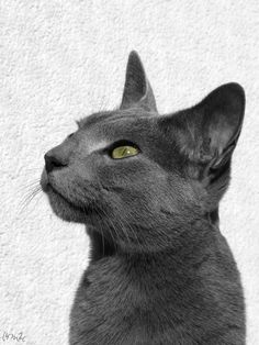 On December 2012 I became the owner of two Russian Blue kittens. Here's their story in pictures :) Russian Blue Kitten, Funny Animals, Cute Animals, Cat Pose, 3 Month Olds, Cat Aesthetic, December 22, Blue Cats, Cool Cats