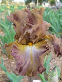 TB Iris germanica 'Hobo Heaven' (Maryott, 1994)