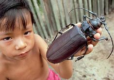 Worlds largest beetle. Titan beetle lives in the Amazom Rain Forest.