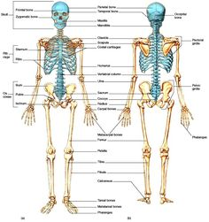 ORGANIZATION OF THE SKELETAL SYSTEM The axial and appendicular components of the skeletal system of an adult human consist of 206 individual bones arranged to form a strong, flexible body framework. The adult skeletal system consists of approximately 206 Human Skeleton Anatomy, Human Body Anatomy, Skeletal System Functions, Skeleton System, Basic Anatomy And Physiology, Axial Skeleton, Body Bones, Medical Anatomy, 206 Bones