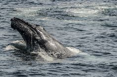 whales off cape cod - I had to go out to see several times to capture these images of whales in their natural habitat. Whales, Cape Cod, Habitats, Wildlife, Times, Natural, Image, Cod, Whale