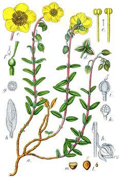 Helianthemum vulgare, Common Rock Rose