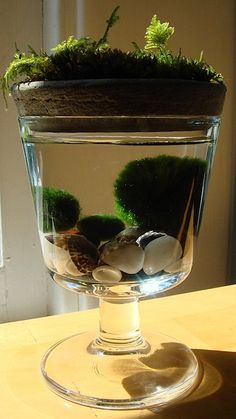 Marimo Moss Balls with Moss on Top Unique Mini Terrarium by MyZen
