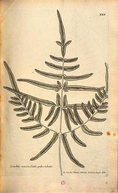 Description des plantes de l'Amérique avec leurs figures par le R. P ... - Charles Plumier - Google Livres