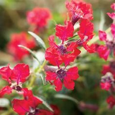 Buy Cuphea Totally Tempted Annual Plants Online. Garden Crossings Online Garden Center offers a large selection of Cuphea Plants. Shop our Online Annual catalog today!
