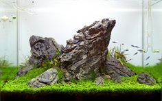 "A fantastic 84l nature iwagumi aquarium by Attila Varga, aka attibva – just 10 days after setup. Interim snapshots illustrate the stunning development of the montecarlo carpet below. Micranthemum sp. ""Montecarlo-3"" is a relatively hardy pearl grass,..."