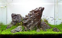 "A fantastic 84l nature iwagumi aquarium by Attila Varga, aka attibva – just 10 days after setup. Interim snapshots illustrate the stunning development of the montecarlo carpet below. Micranthemum sp. ""Montecarlo-3"" is a relatively hardy pearl grass,..."