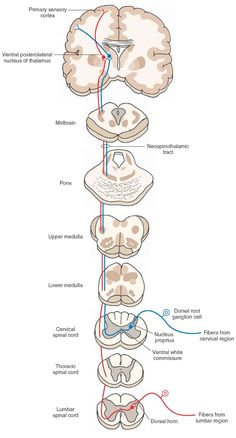 Direct spinothalamic pathway: the neospinothalamic tract. The peripheral processes of these dorsal root ganglion cells end as receptors sensing pain, temperature, and simple tactile sensations. The central processes of these dorsal root ganglion cells synapse with the neurons of the nucleus proprius. The axons of these second-order neurons cross via the anterior white commissure, enter the contralateral white matter, ascend in the lateral funiculus, and synapse on third-order neurons…